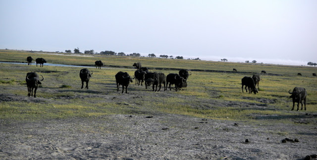 Cape buffalo in Chobe game reserve