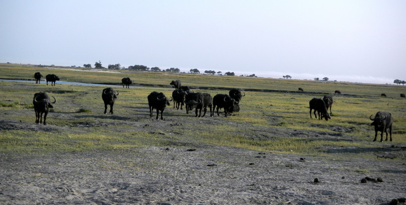 Cape buffalo in Chobe game reserve
