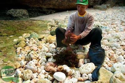 warga pengumpul rumput laut di pantai ngunggah, gunungkidul
