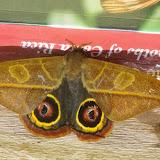 Hemileucinae : Leucanella hosmera (Schaus, 1941), mâle. Mount Totumas, 1900 m (Chiriqui, Panamá), 21 octobre 2014. Photo : J.-M. Gayman