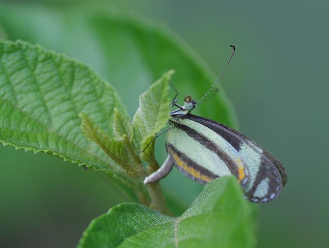 Moschoneura pinthous pinthous (L., 1758). Patawa (Montagne de Kaw), 25 octobre 2012. Photo : J.-M. Gayman