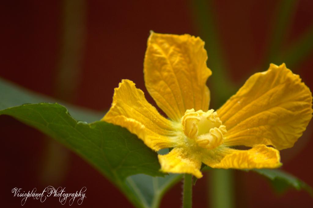 Pumpkin Flower by Sudipto Sarkar on Visioplanet