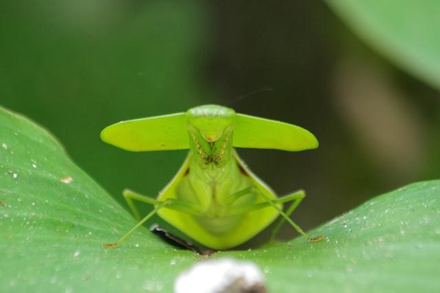 Mantidae : Choeradodis sp., probablement C. stalii WOOD-MASON, 1880. Tunda Loma à Calderon (San Lorenzo, Esmeraldas), 27 novembre 2013. Photo : J.-M. Gayman