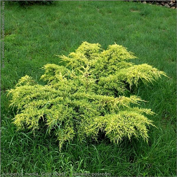 Juniperus media 'Gold Coast' habit - Jałowiec pośredni pokrój