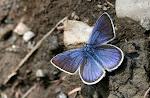 Engblåfugl - han.4.jpg