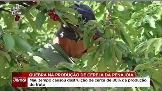 Vídeo - Quebra de 80% na produção de cereja da Penajóia