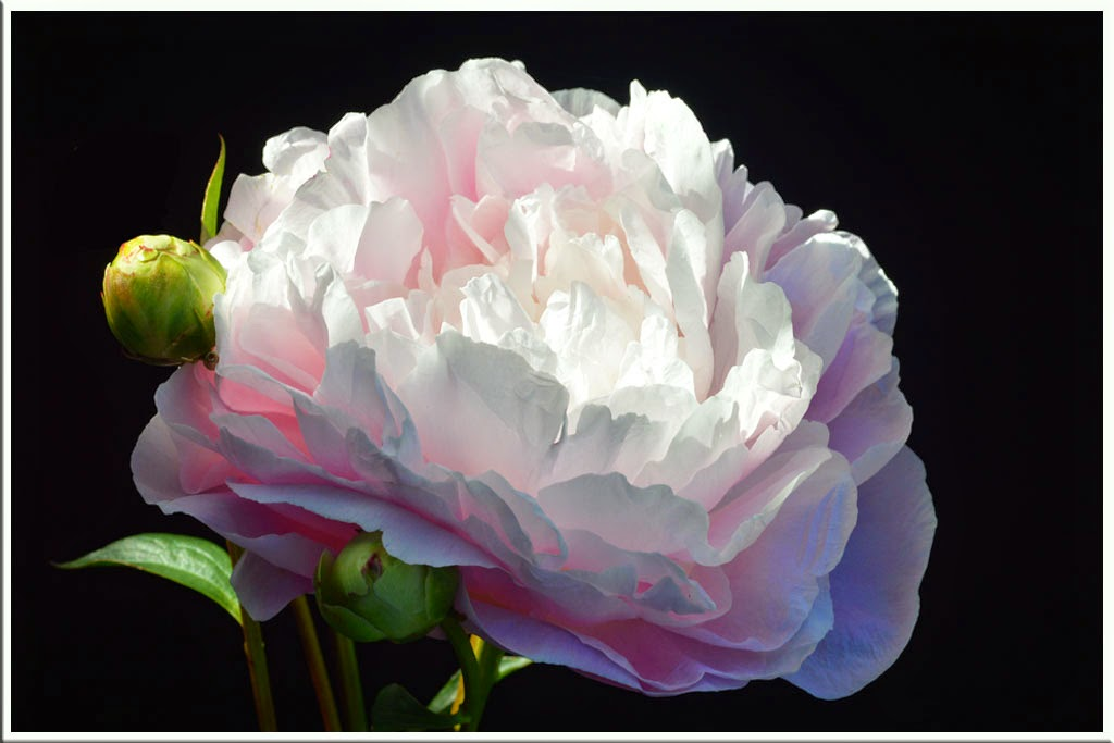 """Soft Pink Peony"" by Sally Harris -- 1st place B general"
