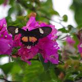 Parides eurimedes arriphus (Boisduval, 1836), ♀. Fundo Palmarito, 265 m (Yopal, Casanare, Colombie), 8 novembre 2015. Photo : J.-M. Gayman