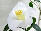 白色 一重 筒〜ラッパ咲き 筒しべ 小輪
