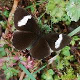 Satyrini : Pronophilina : Pedaliodes peucestas HEWITSON, 1862. Route de Satipo près d'Allapa (Junin, Pérou), 6 janvier 2011. Photo : Meena