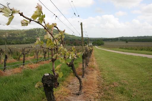 0905 063 Denbies Wine Estate, Surrey, England