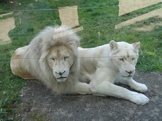 2016.07.31-082 lions blancs