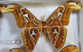 ATTACUS ATLAS (2).JPG