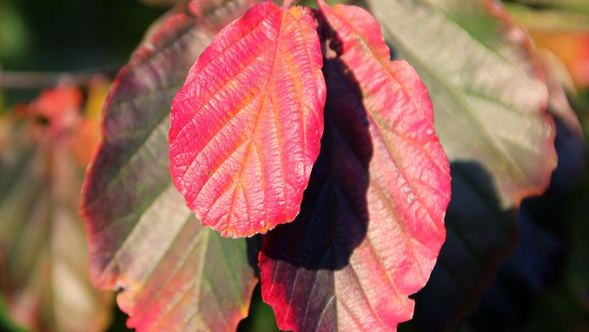 parrotia-persica