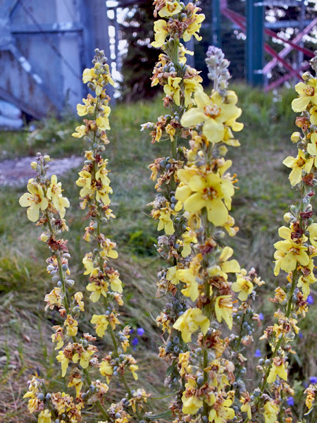 flori varful cozia