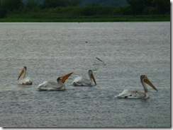 Four pelicans in one shot