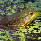 Green-frog_MG_5771-copy.jpg