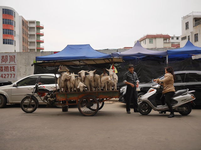 seven goats on a motorbike tricycle cart in Jieyang