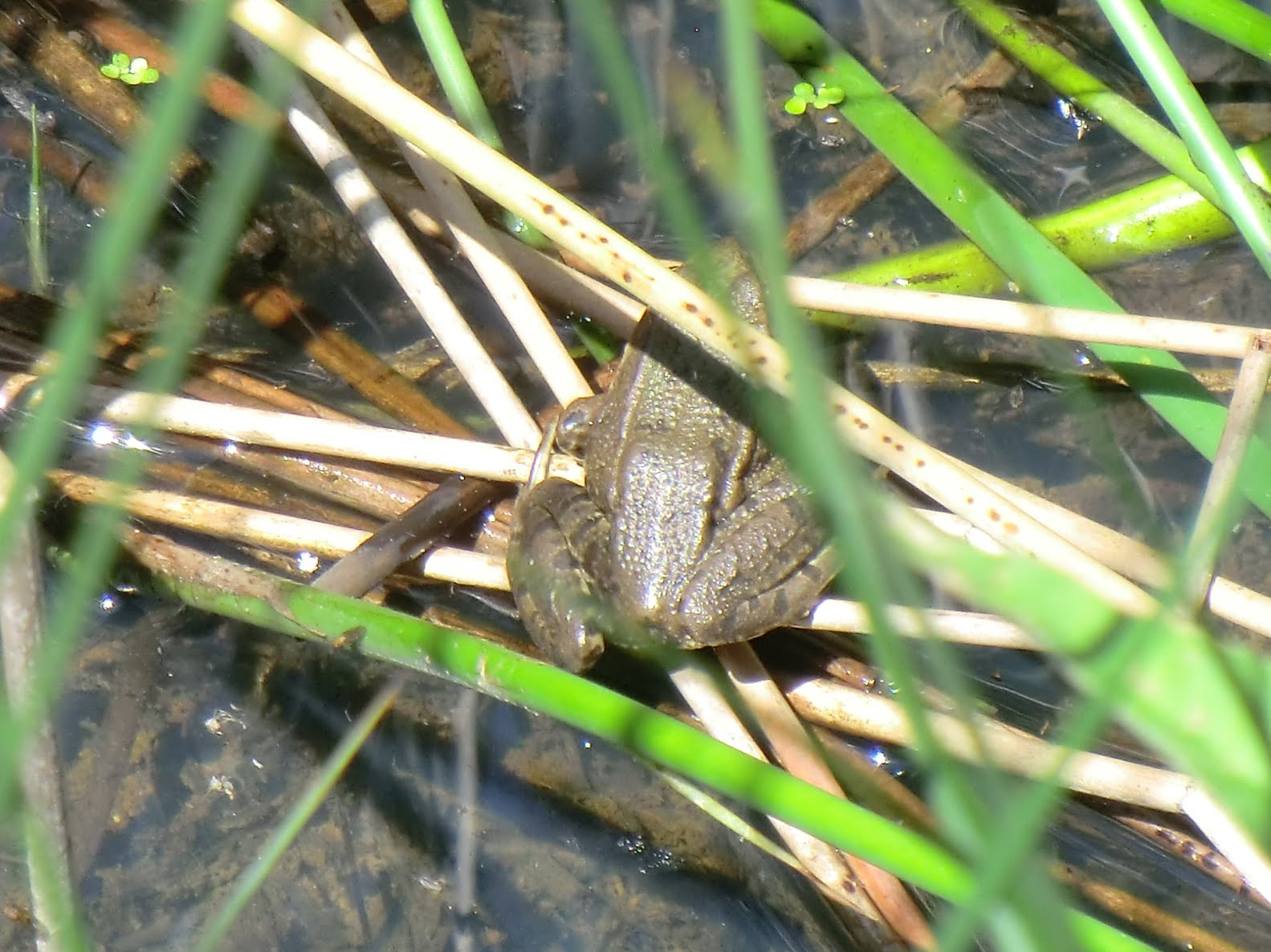 CIMG1707 Frog in the reeds