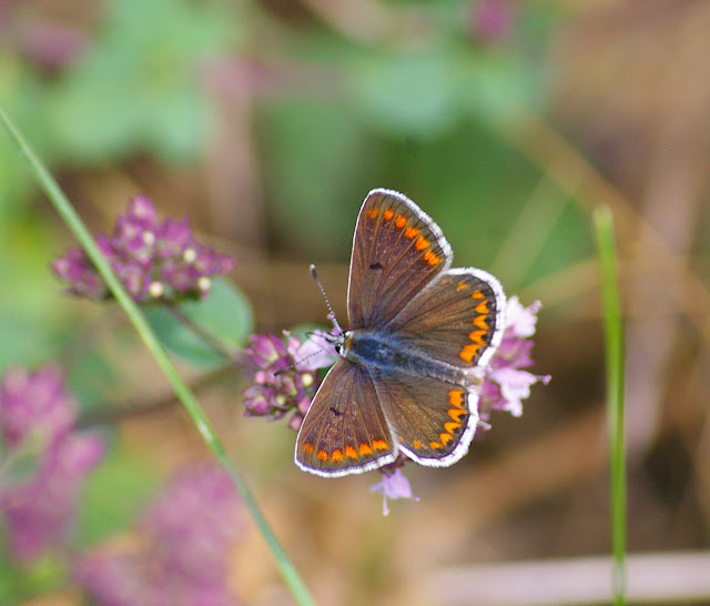 Aricia agestis DENIS & SCHIFFERMÜLLER, 1775, femelle. Les Hautes-Lisières, 16 juillet 2009. Photo : J.-M. Gayman