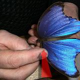 Morpho godartii tingomariensis, BLANDIN, 2007, Tingo Maria, Rio Huallaga, Huanuco, mars 2009 (Pérou). Photo : M. Belloin