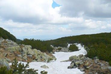 Kosodrzewina w Tatrach Pinus mugo