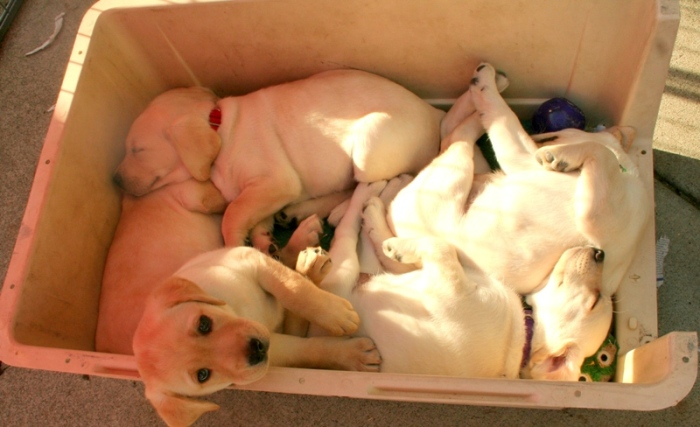 plastic basket holding five yellow lab puppies, all intertwined and on top of each other, all are sleeping except one who is looking at me as I take the photo