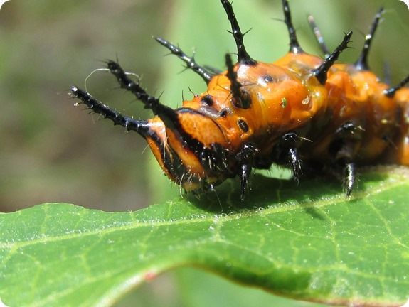 Gulf Fritillary [Agraulis vanillae] Caterpillar (3)