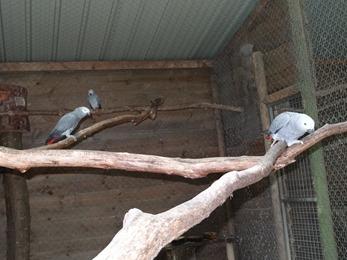 2017.08.06-010 perroquets gris du Gabon