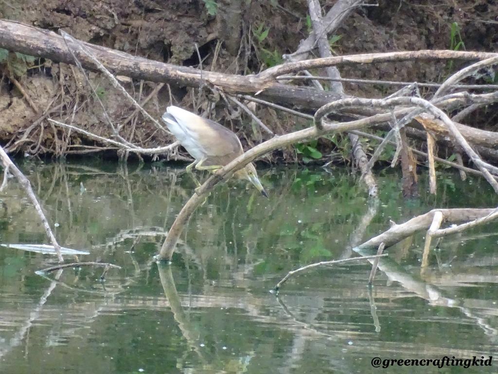 [Indian+Pond+Heron%5B2%5D]