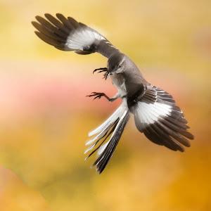 Mochingbird.jpg