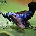 Vietnam grapeleaf moth.
