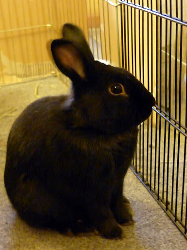 Binky Bunny Rabbit
