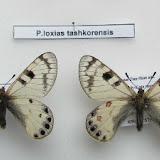 Parnassius (Kailasius) loxias tashkorensis KREUZBERG, 1984. Sary Dzaz, Tian Shan, Kirghizistan. Coll. & photo : G. Cardon