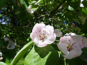 Fleurs du cognassier.jpg