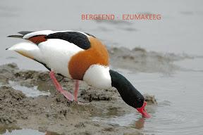 Bergeend - Ezumakeeg Lauwersmeer (3).jpg