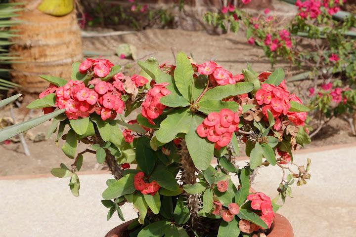 Euphorbia millii _MG_4813