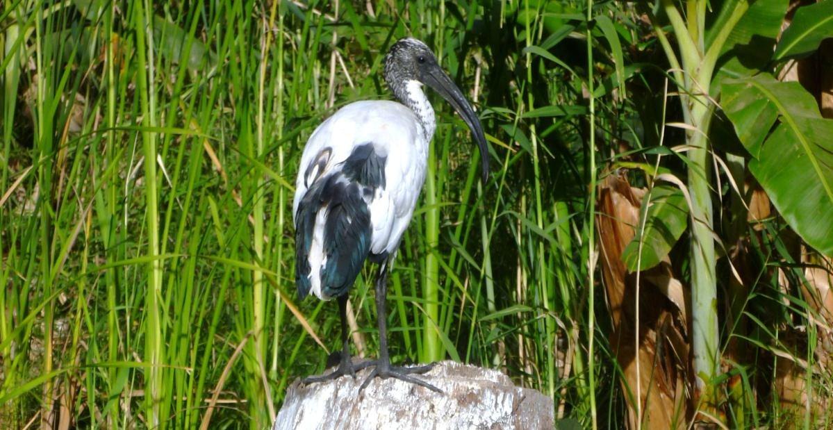 ornithondar les oiseaux saint louis et au nord du s n gal 25 des nouvelles des ibis sacr s. Black Bedroom Furniture Sets. Home Design Ideas