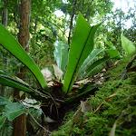 Birds nest fern (Asplenium) growing on a mossy rock (370249)