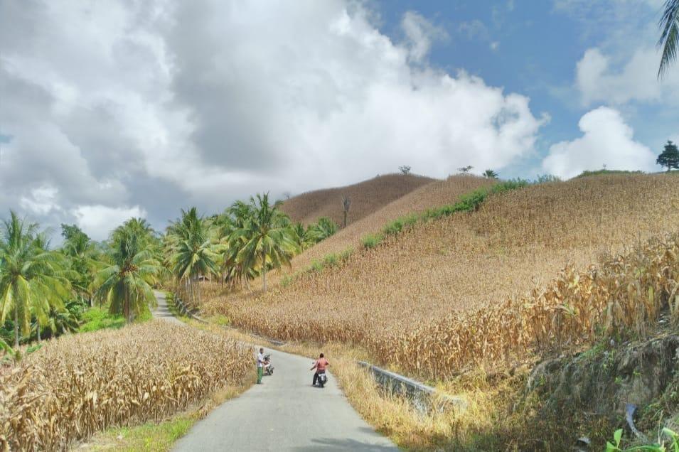 Stok Jagung Gorontalo Siap Pasok Kebutuhan Jagung Nasional