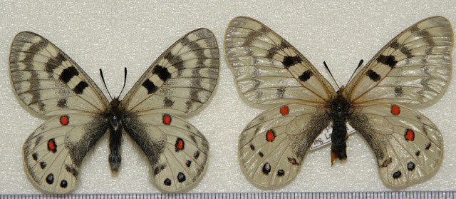 Parnassius (Koramius) maximinus maximinus STAUDINGER, 1891. Kouraminskij Range (Chaktal, Tian-Shan occ.), Ouzbekistan. Photo : Pavel Morozov