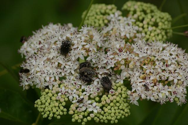 Cetoniidae : Oxythyrea funesta PODA, 1761. Les Hautes-Lisières (Rouvres, 28), 12 juin 2011. Photo : J.-M. Gayman