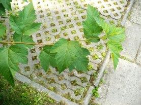 Pęcherznica kalinolistna galązka Physocarpus opulifolius stem