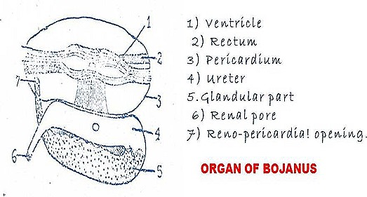 Organ of Bojanus