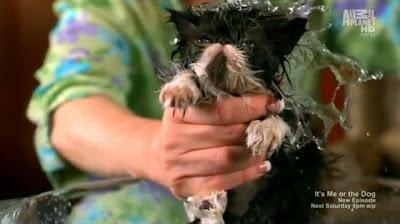 Reginald, gato persa toma banho
