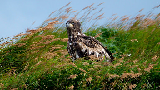 Juvenile Bald Eagle, McNeil River, Alaska.jpg