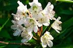 Rosebay Rhododendron.