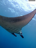 Flying Manta (© 2009 Bernd Neeser)