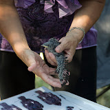 Purple Martin Banding Hammonasset Park July 2012 - BC3G6156.jpg