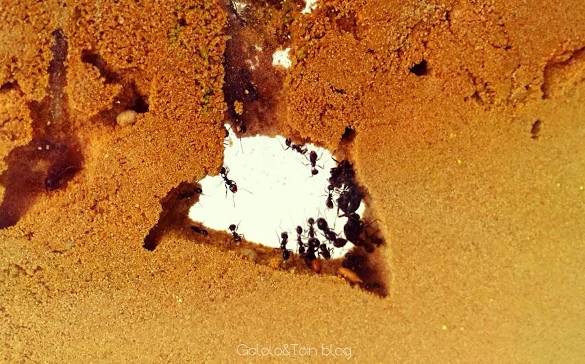 hormiguero-artificial-hormigas-arena-trabajo-galerias-reina